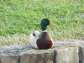 Mallard Duck, Allen, Texas