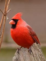 Cardinal, Cardinalis cardinalis, Male (10) (Herman Giethoorn) Tags: cardinal red bird