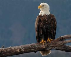 Just Sitting! (Andy Morffew) Tags: baldeagle eagle sitting perched kachemakbay alaska andymorffew morffew inexplore explored number1onexplore