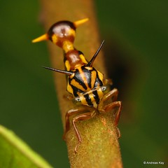 Wasp Mimicking Treehopper, Heteronotus vespiformis, Membracidae (Ecuador Megadiverso) Tags: andreaskay ecuador hemiptera heteronotusvespiformis membracidae mimicry treehopper wasp waspmimickingtreehopper