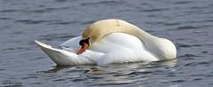 swan J78A0250 (M0JRA) Tags: swans robins birds humber ponds lakes people trees fields walks farms traylers