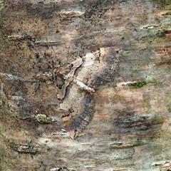 Shoulder Stripe  Earophila badiata (Clive E Jones) Tags: nature maeshafn moths moel findeg denbighshire north wales mothtrapping shoulder stripe earophila badiata