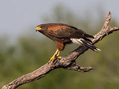 Harris Hawk (Elizabeth Wildlife) Tags: harris hawk birds tx texas santa clara ranch