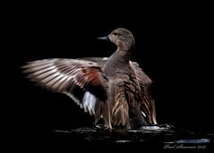 Gadwall (Explored) (muppet1970) Tags: gadwall duck wings water wildlife waterfowl bird nature