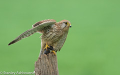 Kestrel (stanley.ashbourne) Tags: kestrel bird nature wildlife stanashbourne birdphotography