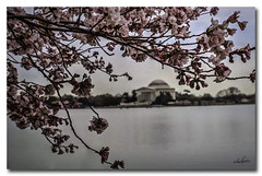 At the Tidal Basin...a painting.. (Roger Lancaster Photos) Tags: nef washingtondc cherryblossoms dccherryblossoms painting