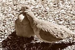 Romance Under the Bird Feeder (Anne Ahearne) Tags: wild birds animal nature wildlife songbird birdwatching sepia dove bird matedpair mourningdove love preening allopreening