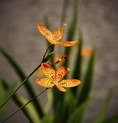 """I must have flowers, always, and always"" - Claude Monet (Pamela Jay) Tags: naturephotography leaf leaves colour flower flora orange speckled beautiful pamelajay queemsland australia"