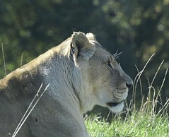 Lioness - taken through glass (MJ Harbey) Tags: lion lioness animal mammal carnivora felidae pantheraleo zsl whipsnade zoo zslwhipsnade whipsnadezoo zslwhipsnadezoo bedfordshire nikon d3300 nikond3300