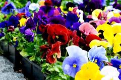 Color Riot (helensaarinen) Tags: rainbowcolors floral spring nursery pansies