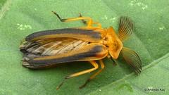 Firefly, Dryptelytra calocera? Lampyridae (In Memoriam: Ecuador Megadiverso) Tags: beetle coleoptera dryptelytracalocera firefly focusstack lampyridae