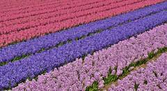 Hyacinths, close to the dunes of Egmond (henkmulder887) Tags: hyacinth tulp narcis egmond holland thenetherlands egmondbinnen klokclub bollenvelden bloemcorso hopman april
