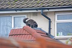 Vas'ka gets hungry and goes home (Caulker) Tags: house roof cat bandit hunter