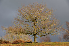 Golden Hour (RedPlanetClaire) Tags: golden hour barlaston downs tree landscape england countryside nature