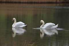 line up (benmccarthyphotography) Tags: swans swan cobh cuskinny wildlife canon canon750d