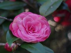 Camellia (bamboosage) Tags: meyeroptik oreston 1850 m42 coth coth5