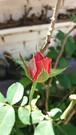 20181218_120041 (Feralysa) Tags: flor flower rosa hibisco natureza
