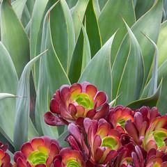 9774Spring16 (Robin Constable Hanson) Tags: aeonium agave desert green horizontal red succulents