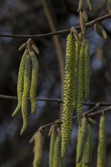 "Hazel Catkins (newpeter) Tags: flowers plants rose roses daisy tulip daffodil fungi toadstool dahlia primrose primula thistle berry berries iris pansies azalea teasels waterlily crocus catkins blossom buds magnolia forgetmenot pussywillow rhododendron cowslips orange ""orange blossom"" orchids"
