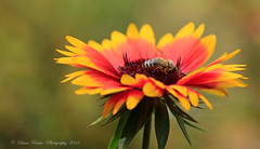 gone with the wind (anaidphotography) Tags: light beautiful blooming detail macro nature naturfotografie beauty insect color flower autumn herbst bokeh