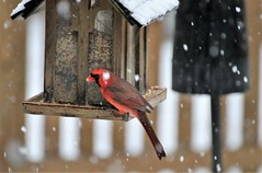 backyard ~ Cardinal in the snow & bokeh (karma (Karen)) Tags: baltimore maryland home backyard birds cardinals feeders fences dof bokeh snow hff cmwd