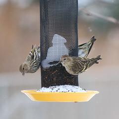 083. Busy feeder (Misty Garrick) Tags: arboretum universityofminnesotalandscapearboretum landscapearboretum flowershow bird birds birding