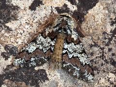 Oak Beauty (Biston strataria). (od0man) Tags: oakbeauty bistonstrataria geometridae geometer ennominae lepidoptera insect moth macro macrolife skinnertrap liden swindon wiltshire uk ma