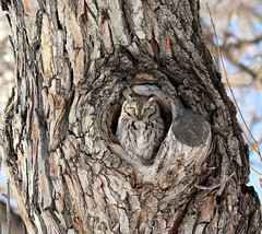 Shhhhh (fizzybeth) Tags: easternscreechowl