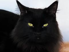 A VELVET BLACK CAT (Cabinet of Old Secret Loves) Tags: quote blackcat cat lucky julesverne black feline cute beautiful velvet rescue story storyteller poem poetry spirit spirits ghost spooky halloween magic magical night