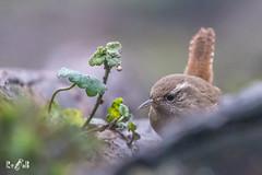 Little wren (Renate van den Boom) Tags: 12december 2018 belgië europa jaar kalmthout maand renatevandenboom vogels winterkoning