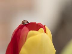 Le tournis (Titole) Tags: tulipe coccinelle ladybug ladybird yellow red titole nicolefaton