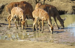 Ladies at the Waterhole  (female Njala) (Pixi2011) Tags: antelope krugernationalpark southafrica africa wildlife nature animals