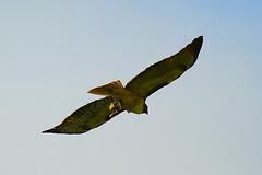 Brentwood Hawk (morgan@morgangenser.com) Tags: hawk natue prety rabbit afternoon dinner redtail redtailhawk beautiful big dead kil flying blue daytime soaring