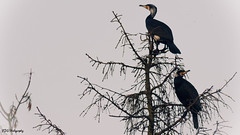 2 great cormorants up high in the tree (bdg-photography) Tags: natur nature naturephotography bird birds cormorant great greatcormorant big tree high sky animal animals feathers beak