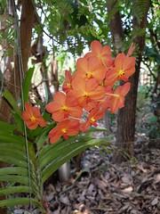 Vanda sp. Orchidaceae- orange Vanda orchid16 (SierraSunrise) Tags: thailand phonphisai nongkhai isaan esarn plants flowers orange epiphytes orchidaceae orchids vannda hanging