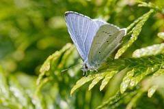 DSC_6768_DxO_pn - azuré - butterfly (Berzou) Tags: papillon butterfly macrodenaturalezza macro macrodream nature naturebynikon fantasticnature nikond7200 nikon105mmf28