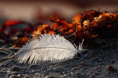 On the beach (evisdotter) Tags: spring beach sand feather fjäder tång seaweed macro bokeh nature light sooc texture