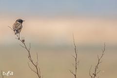Common stonechat (Renate van den Boom) Tags: 03maart 2019 europa grootbrittannië jaar maand northyorkshire renatevandenboom roodborsttapuit staidensnaturereserve vogels yorkshire