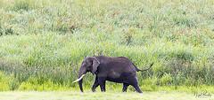 AFRICAN ELEPHANT 7 (Nigel Bewley) Tags: tanzania africa wildlife nature wildlifephotography nigelbewley photologo appicoftheweek africanelephant loxodontaafricana march march2019 safari gamedrive ngorongoroconservationarea