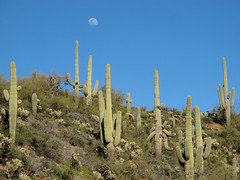 Moonrise Over Cactusland (zoniedude1) Tags: arizona desert cactus sky moon springinthedesert landscape view moonriseovercactusland saguaros moonrise sonorandesert desertscape saguarocactus carnegieagigantea teddybearcholla opuntiabigelovii cholla azdesert wildoutback gilacounty tontonationalforest tontobasin desertspring2019 2880ftelevation inthewild armergulchexpedition2019 outdoors hiking exploration discovery southwest nature canonpowershotg12 pspx19 zoniedude1 earthnaturelife