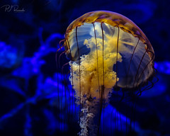 Sea Jellie #7 (Perry J. Resnick) Tags: perryjresnick pjresnickgmailcom pjresnickphotographygmailcom ©2018pjresnick ©pjresnick 2018 pjresnick light fuji fujifilm highspeediso atmosphere atmospheric digital shadow texture shadows angle perspective fujinonxf35mmf14r 35mm xf35mm xf35mmf14 white xf fujinon resnick soft depthoffield indoor blur blurry seajellie jellyfish aquarium aquariumofthepacific colors colours