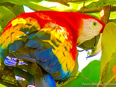 Macaw (adventurousness) Tags: parque nacional corcovado wildlife travel photo drake bay traverling macaw costa rica bahia parrot photography traveler bahiadrake costarica drakebay parquenacionalcorcovado travelphoto travelphotography