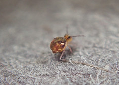 Dicyrtomina sp.5 Janssens & Dobbs 2016 (1mm male) (Bugldy99) Tags: springtail symphypleona collembola macro macrocloseup animal arthropod arthropoda hexapod hexapoda nature