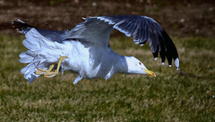 Gabian 6 (thierrybalint) Tags: oiseau oiseaudemer bird gabian herbe grass pelouse nikon nikoniste parc park borely marseille balint thierrybalint envol flight