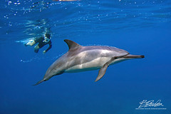 Leaving a trail (bodiver) Tags: hawaii ambientlight wideangle tokina1017mm peopleunderwater blue ocean fins freediving dolphin naia snorkeling