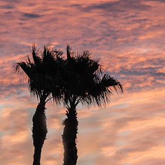 Sunset And Twin Palm Trees (http://fineartamerica.com/profiles/robert-bales.ht) Tags: arizona foothills forupload haybales land palmtree people photo places plants projects scenic states sunrisesunset sunsetorsunrise sunrise sunset redsky twilight yellow clouds landscape spectacular desertphotography panoramic surreal sublime sonora inspirational path morning silhouette sunrisephotography red sonoradesert robertbales desertecosystem desert nature sky yuma dusk dawn scene sunlight colorful tranquil vibrant outdoor black beauty squareformat square