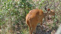 Approaching a Bushbuck (Rckr88) Tags: krugernationalpark southafrica kruger national park south africa approaching bushbuck approachingapproaching bushbuckanimalanimalsnaturenatural world outdoors wilderness wildlife