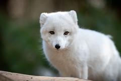Arctic Fox Looking Across (Eric Kilby) Tags: stonezoo animal arctic fox white fuzzy winter fluffy