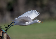 DSC4981  Cattle Egret.. (Jeff Lack Wildlife&Nature) Tags: cattle cattleegret egret egrets birds avian animal animals wildlife wildbirds wetlands waterbirds waterways wildlifephotography jefflackphotography farmland fields grasslands livestock countryside wintermigrant nature
