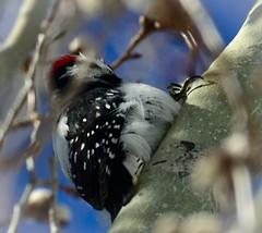 Wood Pecker (Karen McQuilkin) Tags: wood pecker aspen tree winter